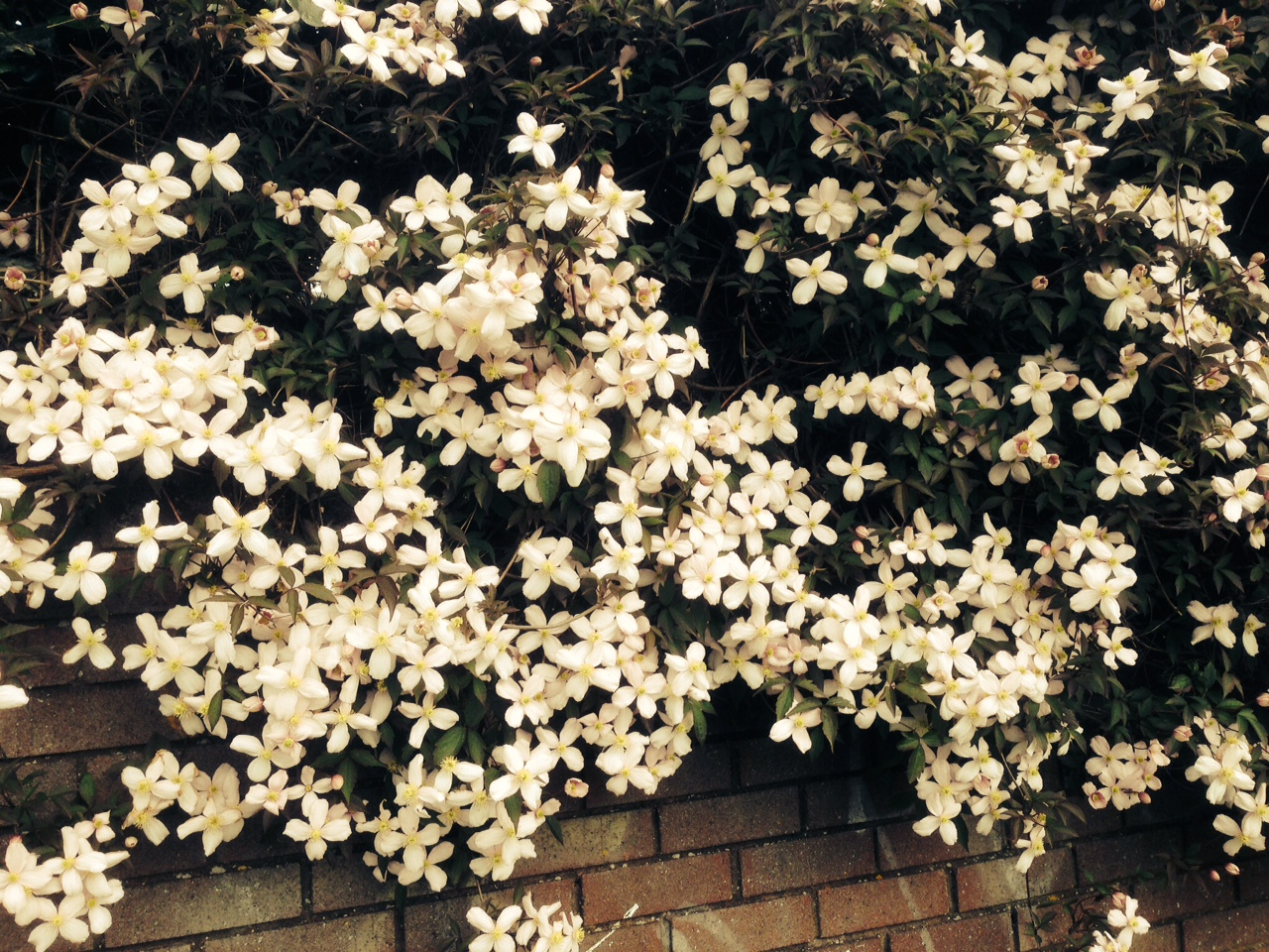 Mays Garden: My English Garden In May – Beautiful Clematis